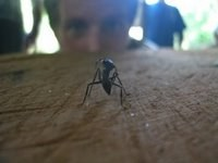 A Giant Bullet Ant