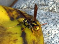 Fruit Wasps
